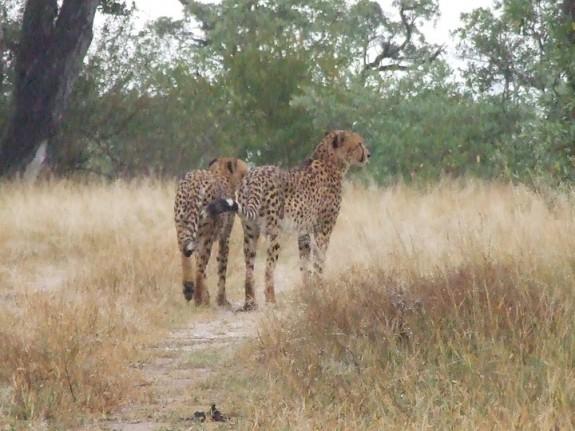 Geparder ved Orphan Gate, Kruger Park