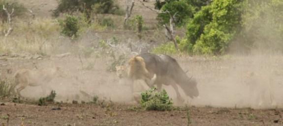 Mpala_Lion_Kill_0019
