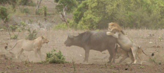 Mpala_Lion_Kill_0022