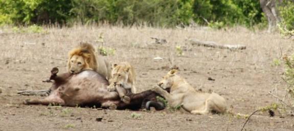 Mpala_Lion_Kill_0025