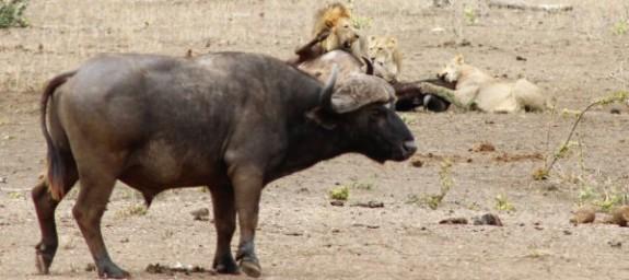 Mpala_Lion_Kill_0026