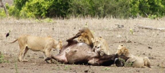Mpala_Lion_Kill_0028