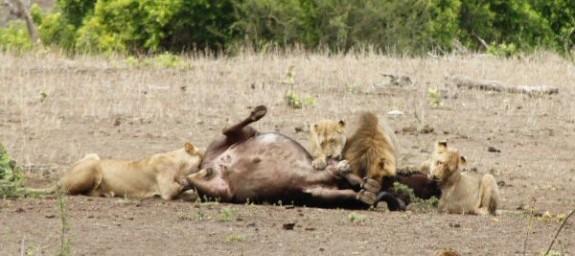 Mpala_Lion_Kill_0029