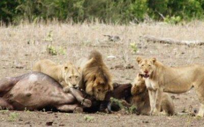 Action i Kruger Park