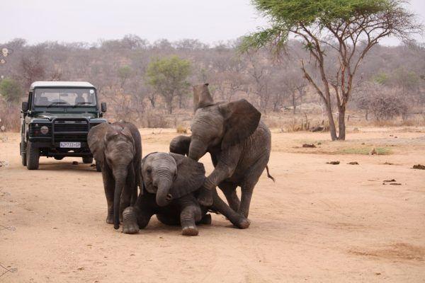 Afrikalegendeelefantungerx