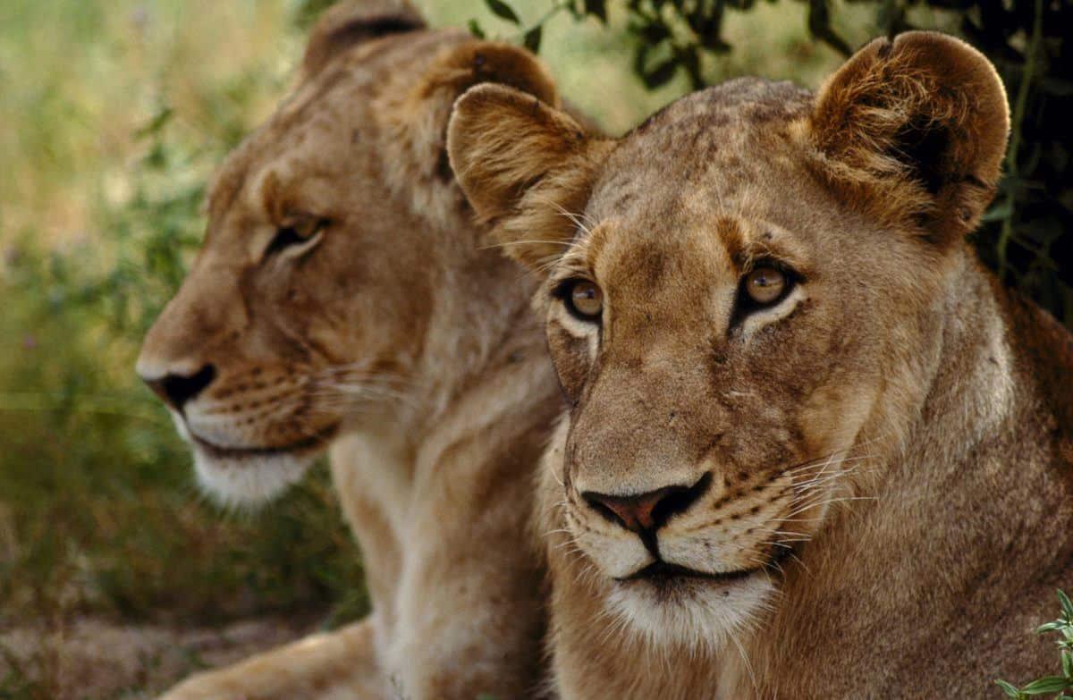 2 løvehunner