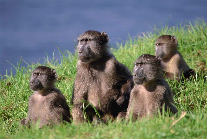 4 baboon i græs