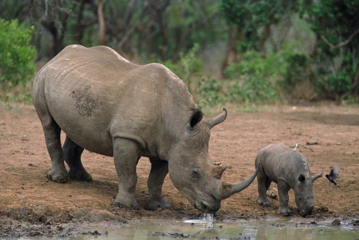 næsehorn m. baby